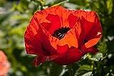1000 Red Turkish Poppy Heirloom Papaver Somniferum Flower Seeds