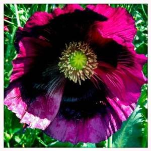 "Papaver Somniferum ""Pepperbox Opium\"" (High alkaloid & extrem rare)"