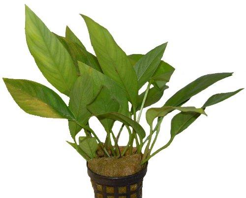 Aquariumpflanzen Anubias hastifolia, Wasserpflanzen