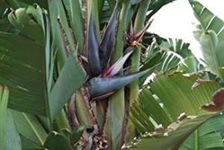 White Bird of Paradise Seeds (Strelitzia nicolai) 5+ Rare Seeds + FREE Bonus 6 Variety Seed Pack - a $29.95 Value! Packed in FROZEN SEED CAPSULES for Growing Seeds Now or Saving