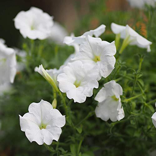 100pcs Graines Petunia fleurs Graines + CADEAUX SECRET, bonsaï pot fleur plante, jardin potager bricolage, livraison gratuite
