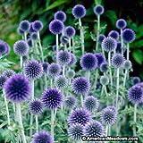 Risitar Graines - Rare bleu Échinope vivace Boule Azurée Attire les papillons, Fleurs à semer pour massifs, Graines de fleurs jardinerie Graines et Potager Plantes vivaces résistante au froid
