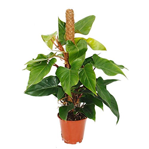 Philodendron Red Emerald, Philodendron 19cm Topf