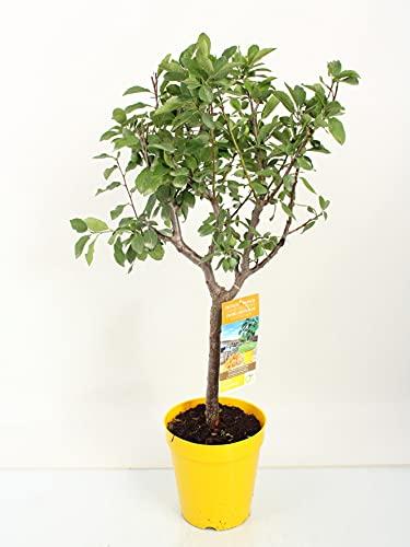 Obstpflanze von Botanicly – Zwergpflaume – Höhe: 100 cm – Prunus Domestica