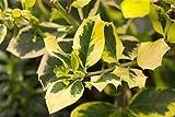 Gelbbunte Stechpalme Ilex altaclerensis 'Golden King' im Topf gewachsen ca. 30-40cm