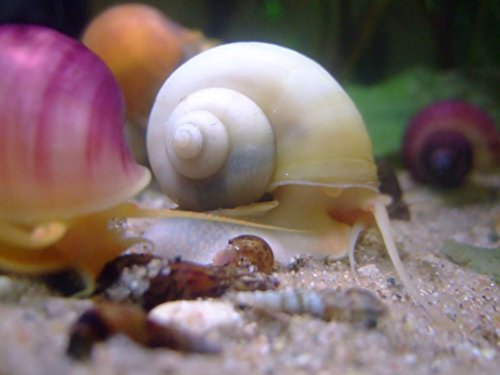 White Mystery Snail - 1/2-2 inches - Algae Eater for Aquariums