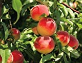 zone 5 fruit trees - Dwarf Red Haven Peach Tree - Grow a Dessert Peach and its Remarkable Flavor!