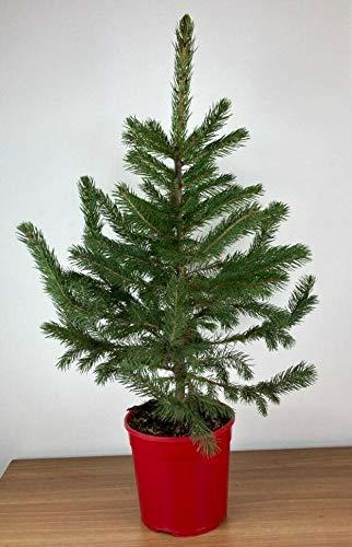 Pino Abete Blu Argentato Picea pungens glauca vaso ø19 h. 50 cm