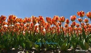 100pcs graines Tulip, Tulip agesneriana, aromatiques graines de fleurs des plantes en pot plus belles plantes de tulipes vivaces Jardin 1