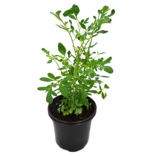 Ruda Macho 10cm Ruta Chalepensis Planta Natural en Maceta