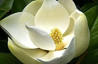 HOT!! - 10 Southern Magnolia Tree 12