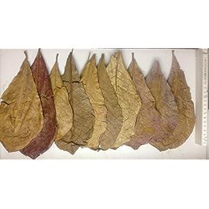 10-Seemandelbaumbltter-10-15cm-original-A-Markenware-von-SMJS-Cambodia-BLITZVERSAND-Seemandellaub-Catappa-Leaves