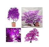 10 semillas púrpura japonés fantasma arce bonsai Acer semillas raras inusuales impresionante planta de jardín