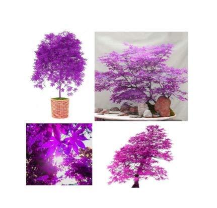 10 Seeds Purple Japanese Ghost Maple Bonsai Acer Seeds Rare Unusual Stunning Garden Plant