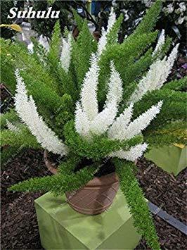 Couleur rares sétaire Seeds 60 Pcs sétaire Ferns Bonsai Balcon vivace fleur Plantation intérieur Plantes ornementales Lanscape Semences à gazon 1