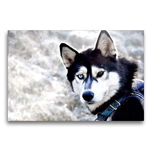 Premium Textil-Leinwand 75 x 50 cm Quer-Format Sibirische Huskys in Deutschland   Wandbild, HD-Bild auf Keilrahmen, Fertigbild auf hochwertigem Vlies, Leinwanddruck von Andrea Hentschel