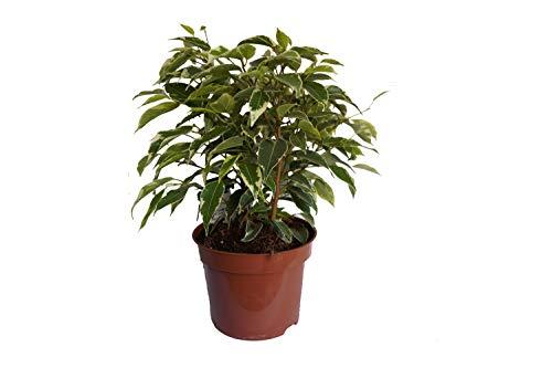 Birkenfeige, (Ficus benjaminii) im 12cm Topf (Sorte: Kinky, im 12cm Topf, ca. 30cm hoch)