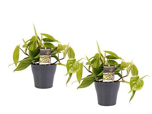 Zimmerpflanzen von Botanicly – 2 ×...