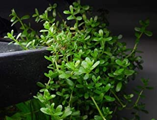 10 Bacopa Monnieri Moneywort Plus 5 Pennywort Aquatic Live Aquarium Starter Plants