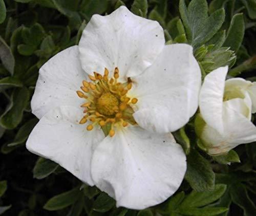 Potentilla fruticosa Tilford Cream -...