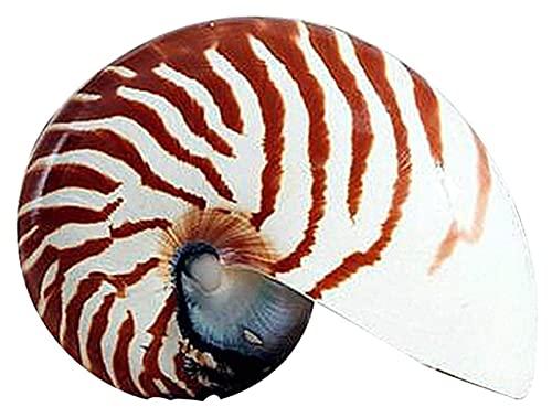WANGSHAOFENG 1 stücke 7-13 cm große Schraube Natural Conch Nautilus Shell Starfish Home Schreibtisch Ask Tank zubehör Aquarium dauerhaft 0122 Strand Muscheln (Color : 79cm)