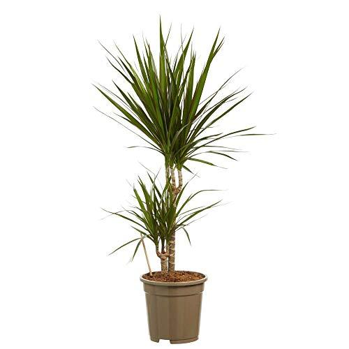 Choice of Green - Dracaena marginata, autrement dit un petit dragon - Plante d'intérieur en pot de