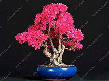 20seeds/paquet de graines de sakura japonais graines rares fleurs fleurs de cerisier japonais en rose de bonsaïs d'intérieur Bonsaï