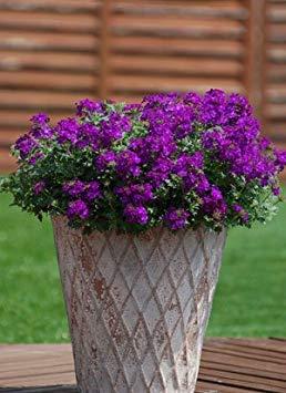 Semillas BloomGreen Co. Flor: Mosquitos de la planta (repelente de mosquitos) Flores azules de la flor Everblooming (11 paquetes) Semillas de plantas de jardín