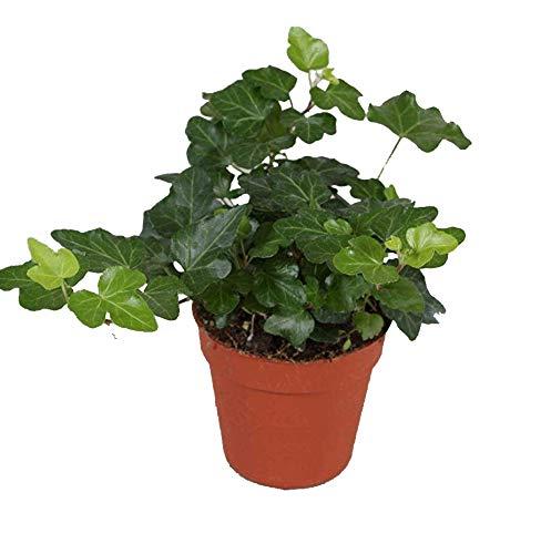 Efeu (Hedera helix), echte Pflanze, als Hängepflanze, Bodendecker oder Zimmerpflanze, pflegeleicht (im 9cm Topf, Sorte: Wonder, grünlaubig)