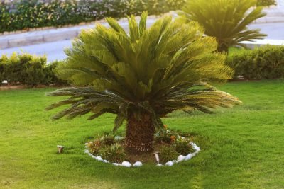 (3 Gallon) Sago Palm Tree- Popular houseplant Known for its feathery Foliage and Ease of Care.