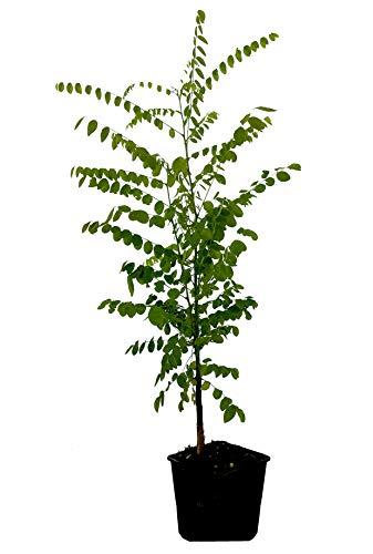 Seedeo® Japanische Schnurbaum (Sophora japonica) ca. 50 cm hoch