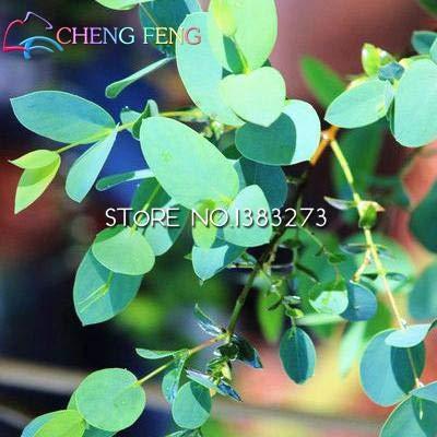Pinkdose® 20 Teile/beutel Seltene Regenbogen Eukalyptus Bonsai Auff llige Tropischer Baum Fr Garten saatn Beobachten Baum Bonsai Topf Hof Pla