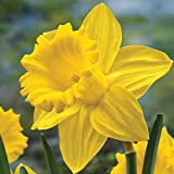 BRECK'S - King Alfred Improved Trumpet Daffodil Bulbs - Add This Classic Daffodil to Your ...