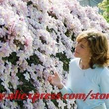 Shopmeeko 100 Clematis bonsais Clematis montana Mayleen bonsais Rosa Weinblüten Pflanze Bonsai Reben Kletterpflanzen Twining