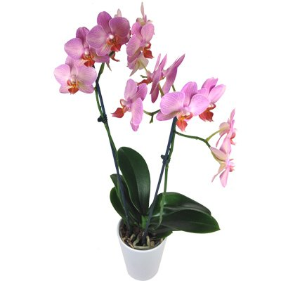 Rosa Orchidee - Zimmerpflanze inklusive Keramik Übertopf!
