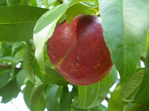 Flavortop nectarine