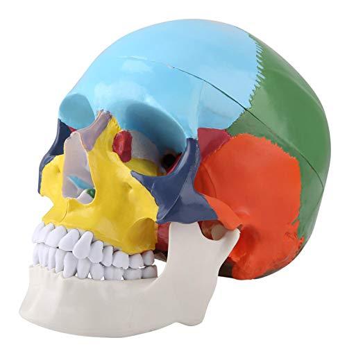 Modelo plástico del cráneo humano, modelo del cráneo humano de la pintura, para el hospital para pintar