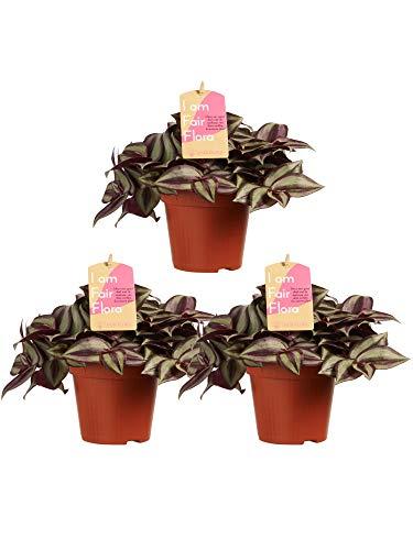 Zimmerpflanzen – 3 × Dreimasterblume – Höhe: 20 cm