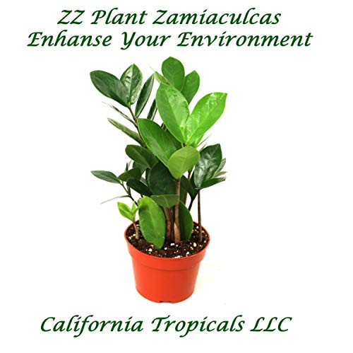 """ZZ Plant (Zamioculcas Zamiifolia) - 4"""" from California Tropicals"""