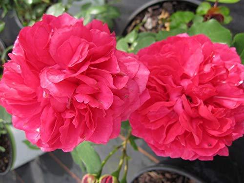 Rosa Leonardo da Vinci® - Hochstammrose Leonardo da Vinci® Floribunda Stammrose dunkelrosa Duft+ 90 cm