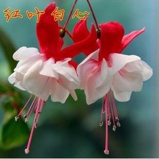 lanternes Fuchsia / fleurs / graines de fleurs balcon intérieur salon / Begonia de Bell pot graines de fleurs 100 graines 11