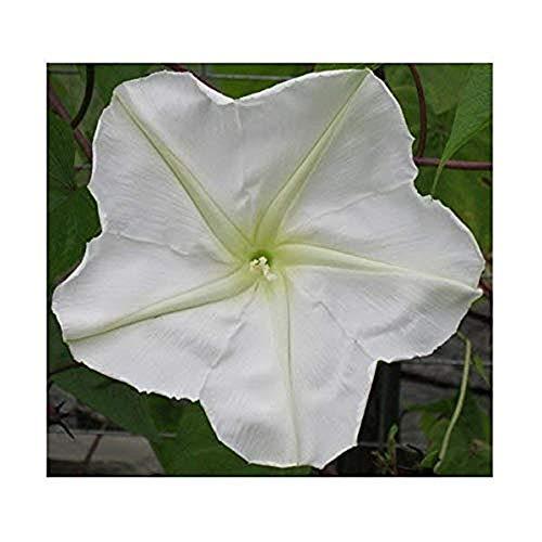 Moonflower Tall Night Flowering - Weiße Trichterwinde - Prunkwinde - 10 Samen