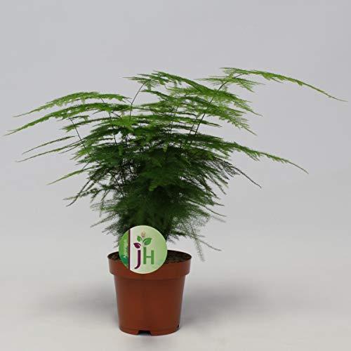Asparagus setaceus Plumosus ca. 35 cm - Zierspargel - Zimmerpflanze - Grünpflanze