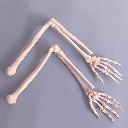 WJH Brazo Humano Modelo del Esqueleto, de tamaño Natural anatómica del Brazo, Estructura ósea de Las extremidades Superiores Modelo anatómico Material PVC Esqueleto del Brazo la enseñanza