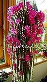 vistaric 200pcs fiori in vaso epiphyllum semi balcone pianta bonsai per giardino e casa quattro stagioni piantare facile da coltivare 6