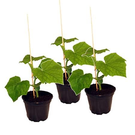 Veredelte Schlangengurke im 3er Set,frische Gurkenpflanze auf Kürbis veredelt