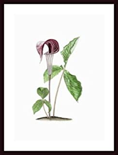 Jack-in-the-Pulpit, framed black wood, white matte