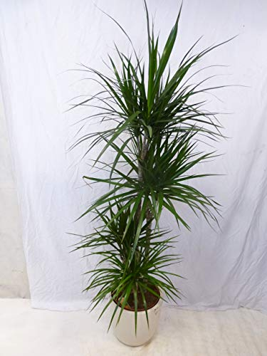 [Palmenlager] - Dracaena marginata 160/170 cm / 4er(!) Tuff // Drachenbaum