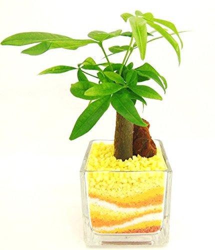 観葉植物 パキラ ハイドロカルチャー ガラス植え S (サンド オレンジ) お手入れ簡単 ギフトに最適 室内で安心な土を使わない水耕栽培 お部屋でグリーンを置いてきれいな空気でリラックス