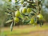 ALYKE 5 seeds of Olive Tree - OLEA EUROPAEA